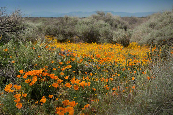 california poppy reserve, california poppies, southern california wildflowers